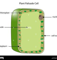 labeled diagram of a plant palisade cell where photosynthesis takes place stock image [ 1300 x 1219 Pixel ]