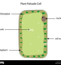 labeled diagram of a plant palisade cell where photosynthesis takes place  [ 1300 x 1219 Pixel ]