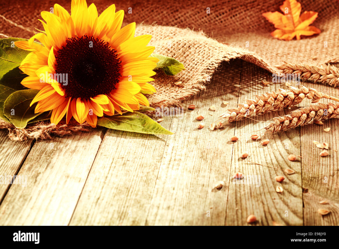 Fall Sunflowers Wallpaper Rustic Background With A Bright Colorful Yellow Sunflower