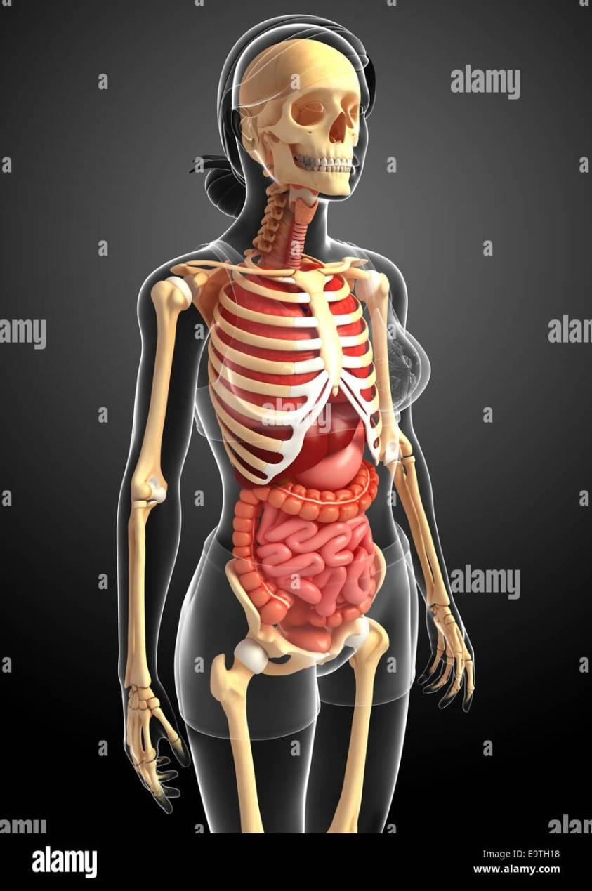 Illustration of female skeleton digestive system Stock ...