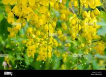 Indian Laburnum Cassia Fistula Stock &