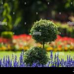 An Ornamental Park Garden With Lavender Flowers And Box Tree In The Stock Photo Alamy