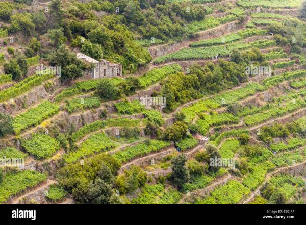 Terraced vineyards in Cinque Terre Liguria Italy UNESCO