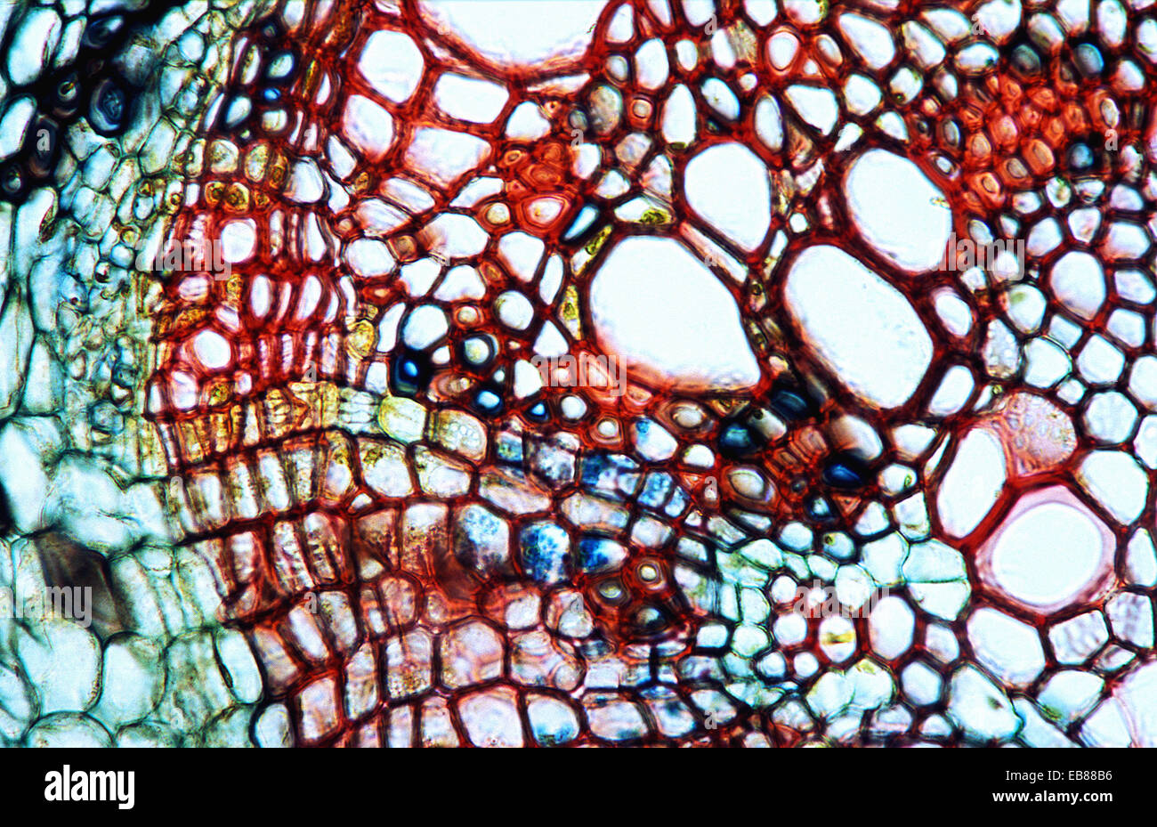 Dicotyledon Root Cross Section Xylem Phloem Pith