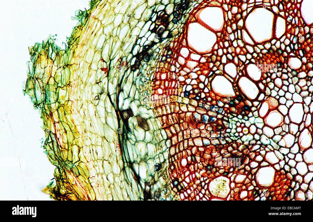 Plant Anatomy Cell Stock Photos Amp Plant Anatomy Cell Stock