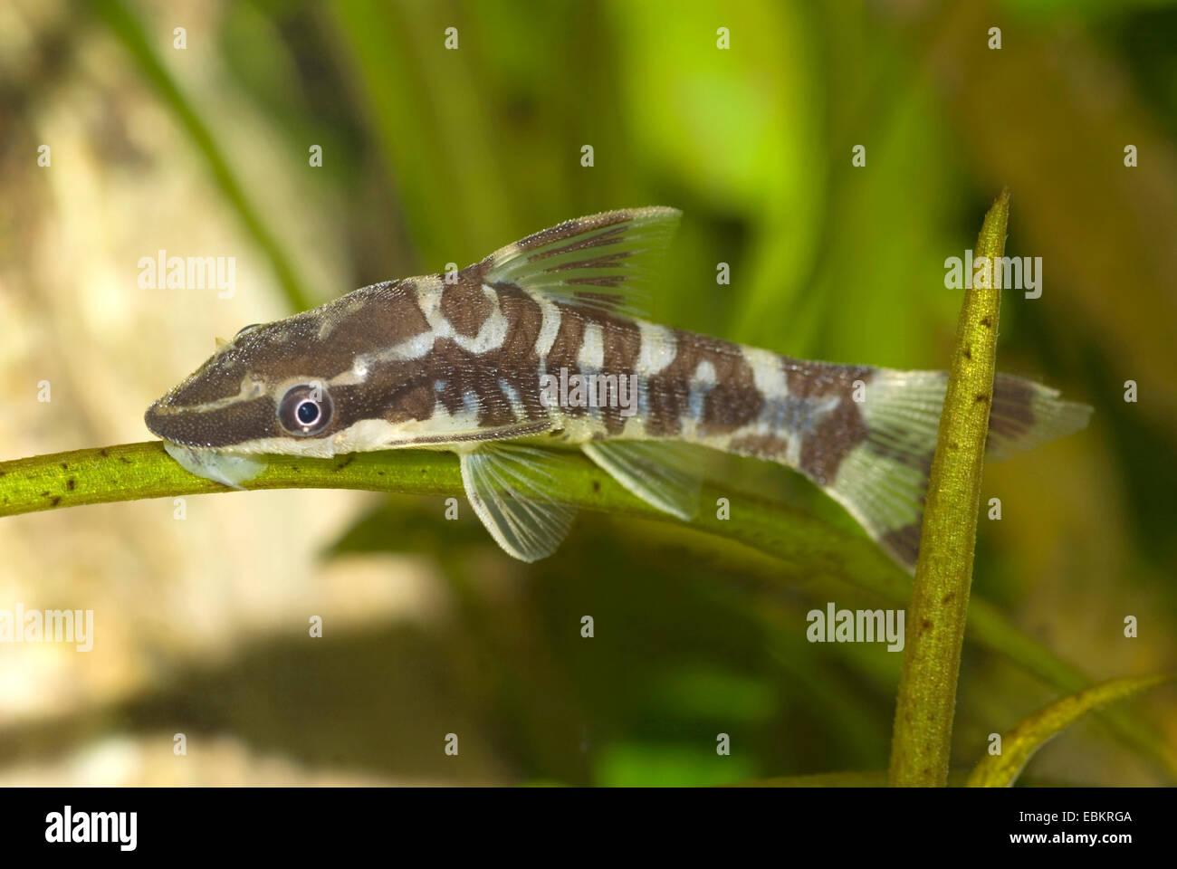 zebra sucker catfish otocinclus