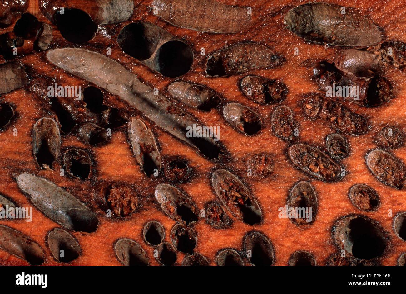 Teredo Stock Photos & Teredo Stock Images - Alamy