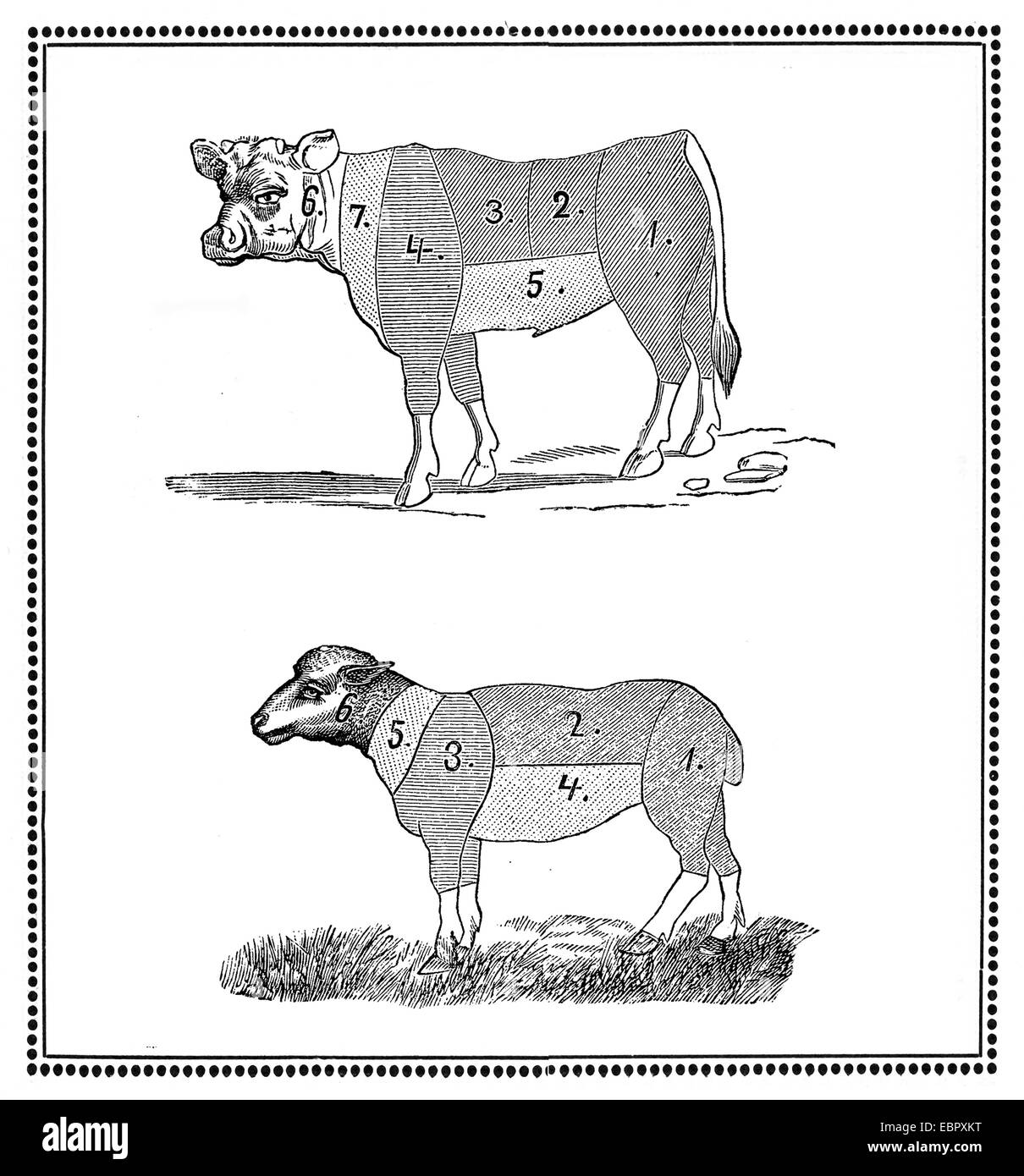 vintage lamb butcher diagram hunter ceiling cuts pork stock photos and