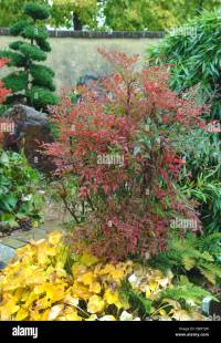 Nandina Heavenly Bamboo Shrub