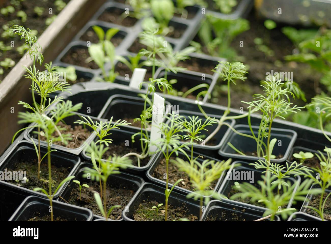 fennel seedlings stock photo