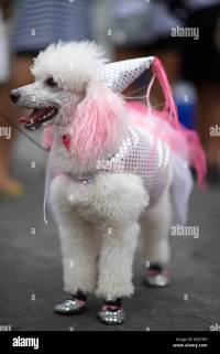 White poodle dog dressed up in pink princess costume for ...
