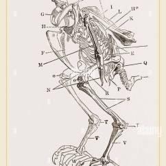 Golden Eagle Skeleton Diagram Single Phase To Three Starter Wiring Hawk Stock Photos Images Alamy Of Image