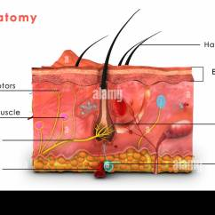 Skin Cross Section Diagram Are Truck Cap Parts Anatomy Labeled Stock Photo Royalty Free Image