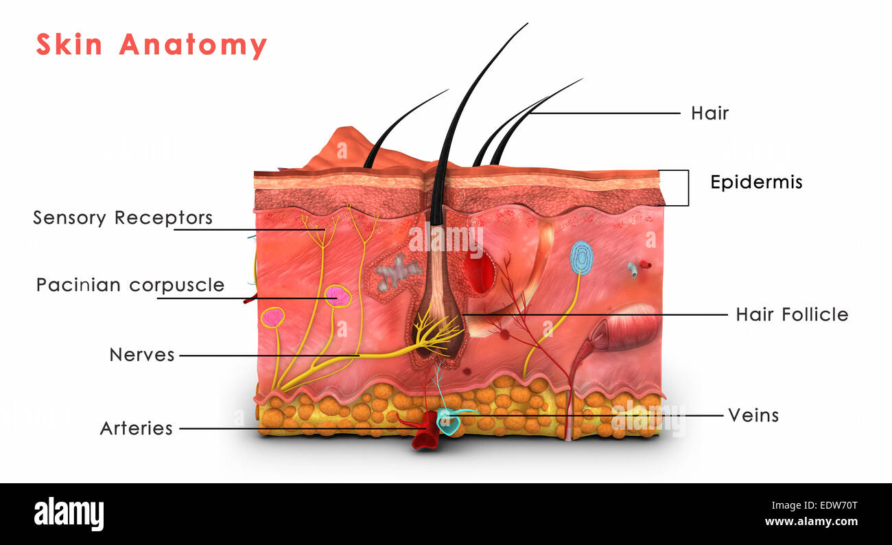 skin anatomy diagram labeled 3 way switch wiring multiple lights stock photo royalty free image
