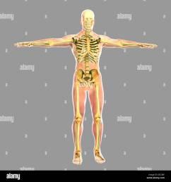 human skeletal system stock image [ 1300 x 1390 Pixel ]