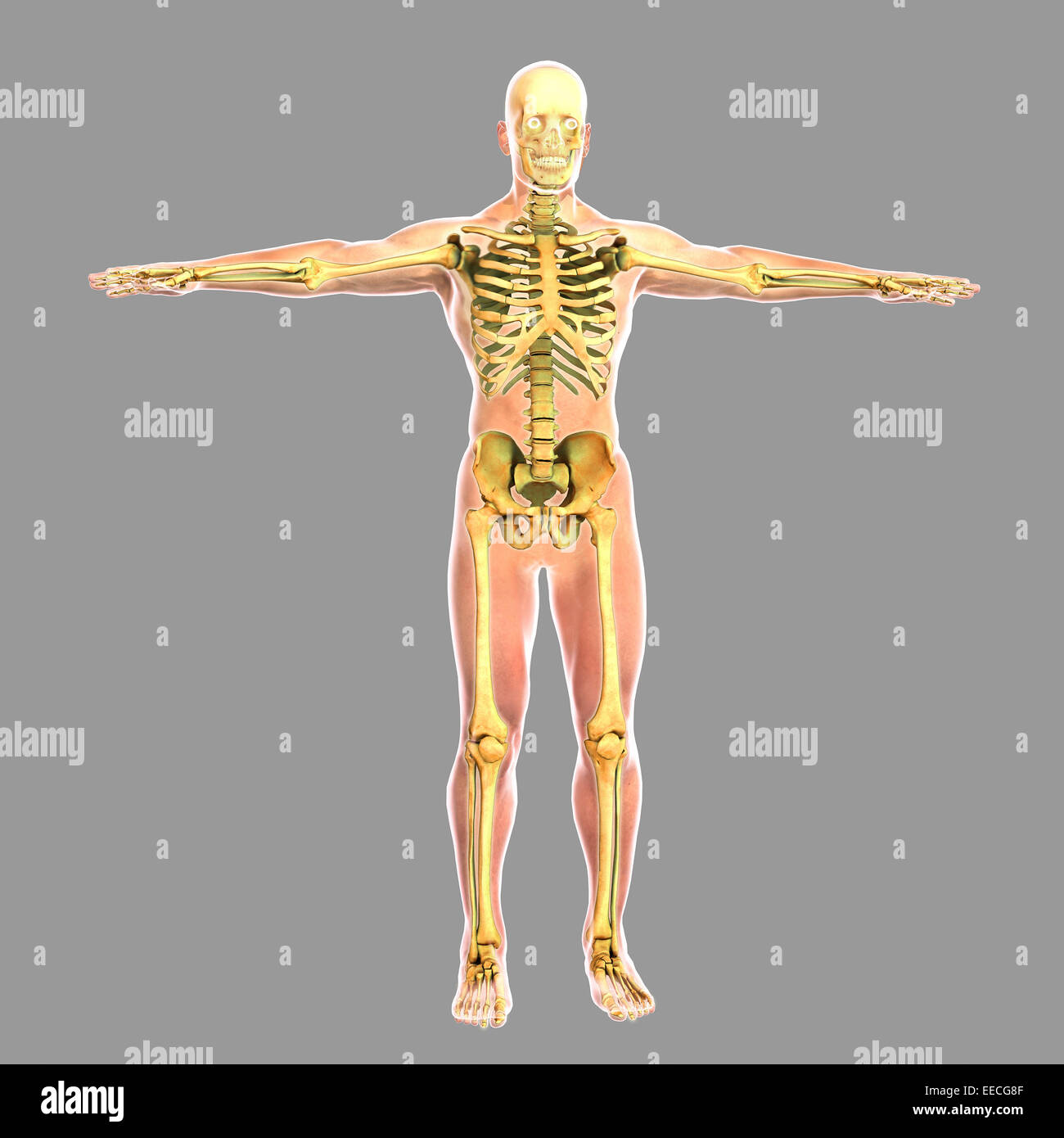 hight resolution of human skeletal system stock image