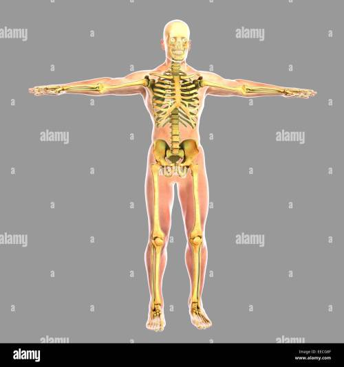 small resolution of human skeletal system stock image