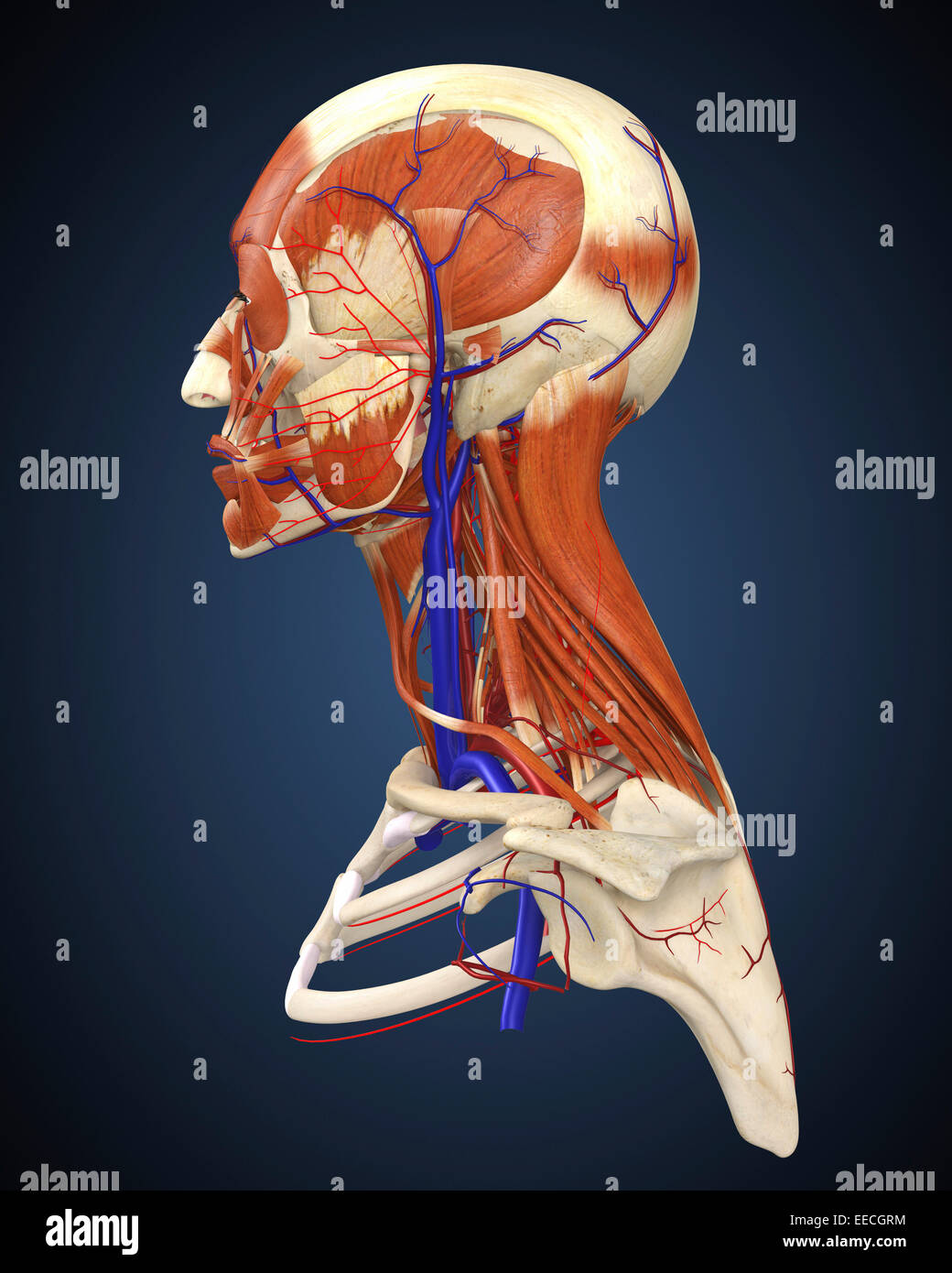 hight resolution of side view of human face with bones muscles and circulatory system