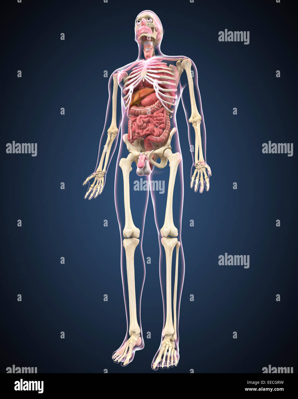 Pubic Bone Stock Photos Amp Pubic Bone Stock Images