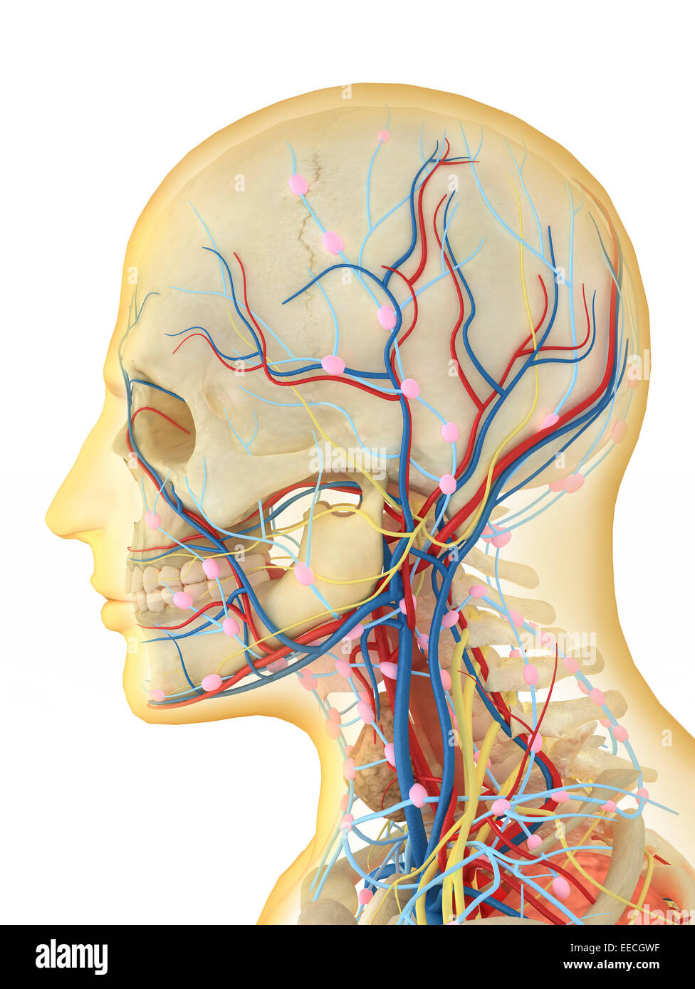 hight resolution of human face and neck area with internal throat parts nervous system lymphatic system and circulatory system