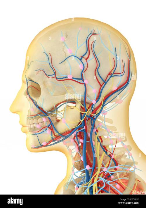 small resolution of human face and neck area with internal throat parts nervous system lymphatic system and circulatory system