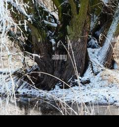 beaver lodge in a willow tree at winter time germany havel river  [ 1300 x 957 Pixel ]
