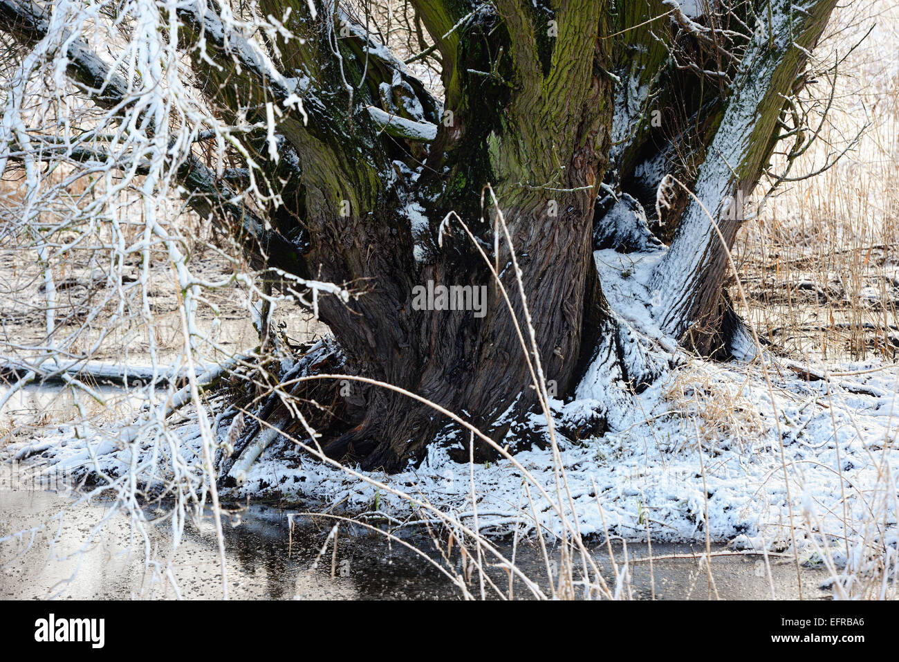 hight resolution of beaver lodge in a willow tree at winter time germany havel river