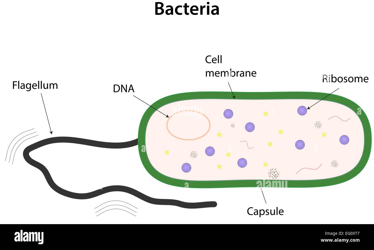Bacteria Labeled Diagram Stock Vector Art Amp Illustration