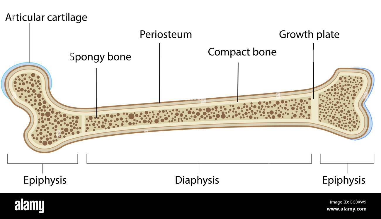 hight resolution of anatomy of bone labeled diagram