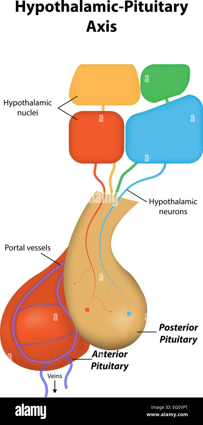medium resolution of hypothalamic pituitary axis stock image