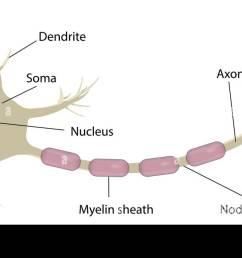 neuron labeled diagram [ 1300 x 689 Pixel ]