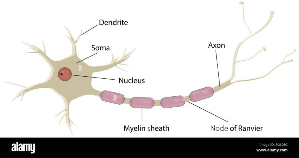 medium resolution of neuron labeled diagram