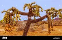 Desert Chain Fruit Cholla
