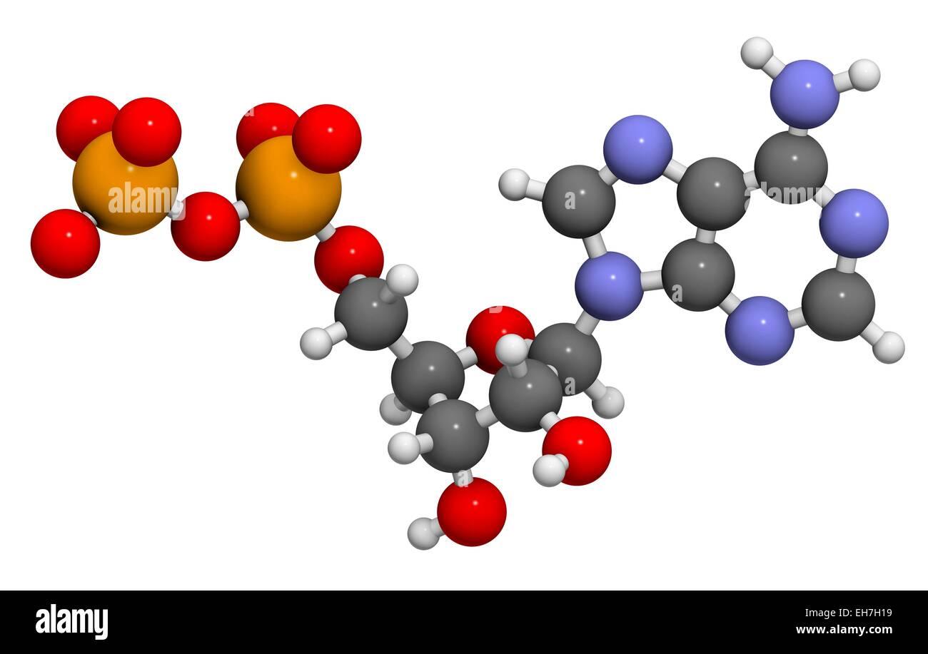 adp molecule diagram labeled 05 chevy equinox wiring adenosine diphosphate stock photo royalty free