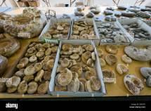 Ammonite Fossils Tucson Gem And Mineral Show
