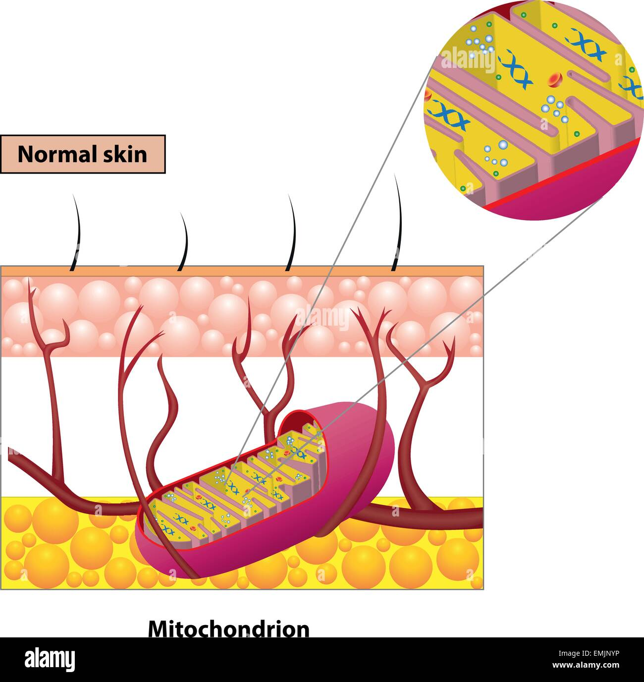 mitochondrion structure diagram speaker wiring for home theater organelle found in most eukaryotic cells vector