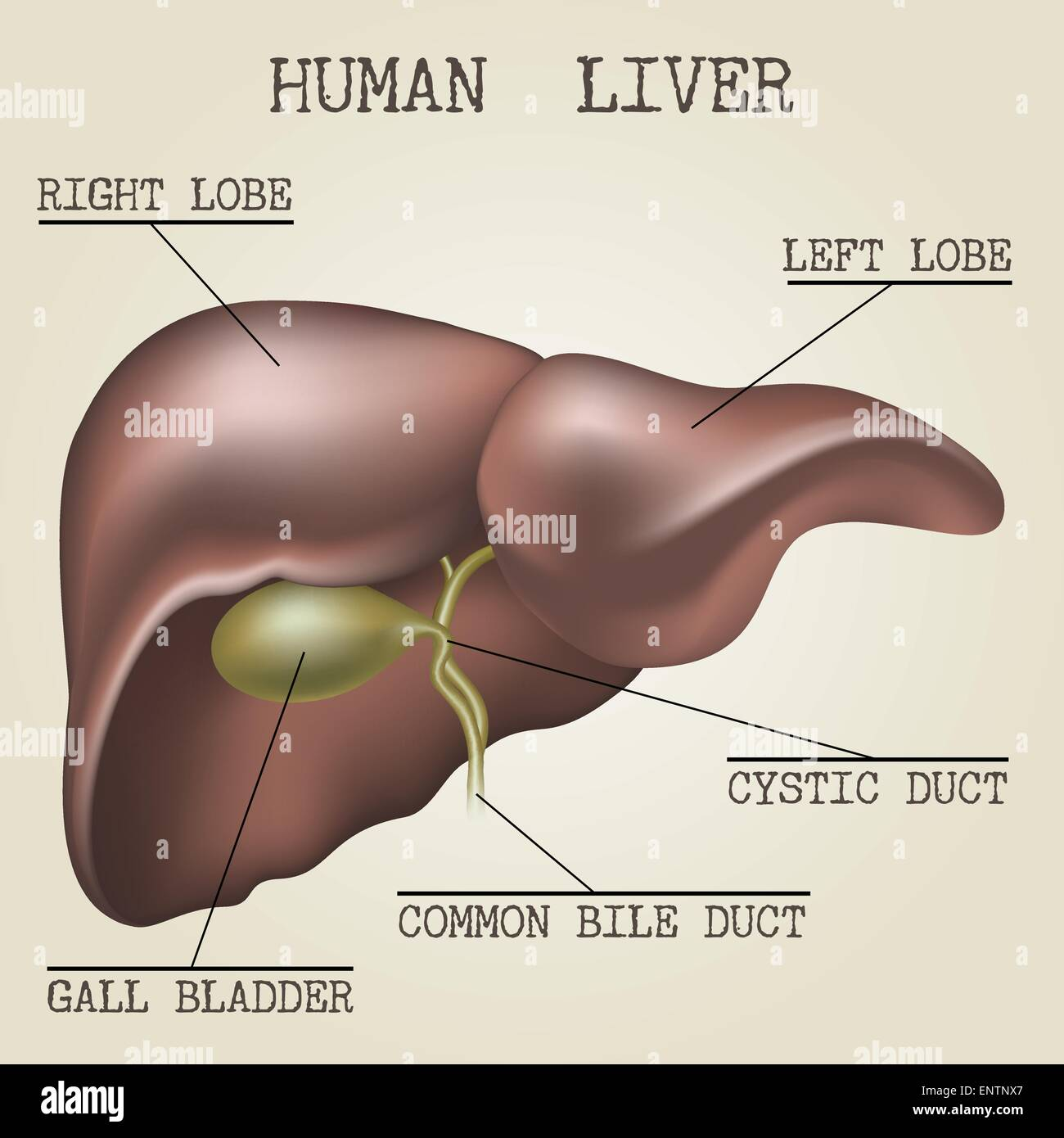 hight resolution of human liver anatomy illustration drawn in vintage encyclopedia style