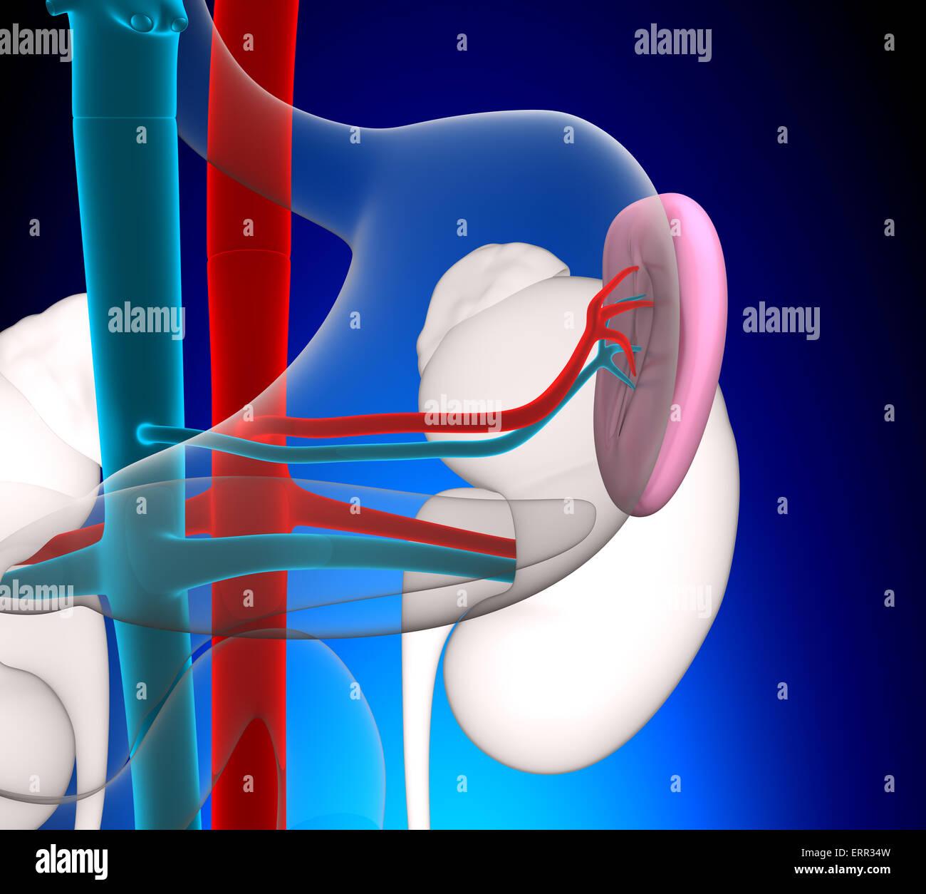 Human Body Anatomy Diagram Stock Photos Amp Human Body Anatomy Diagram Stock Images