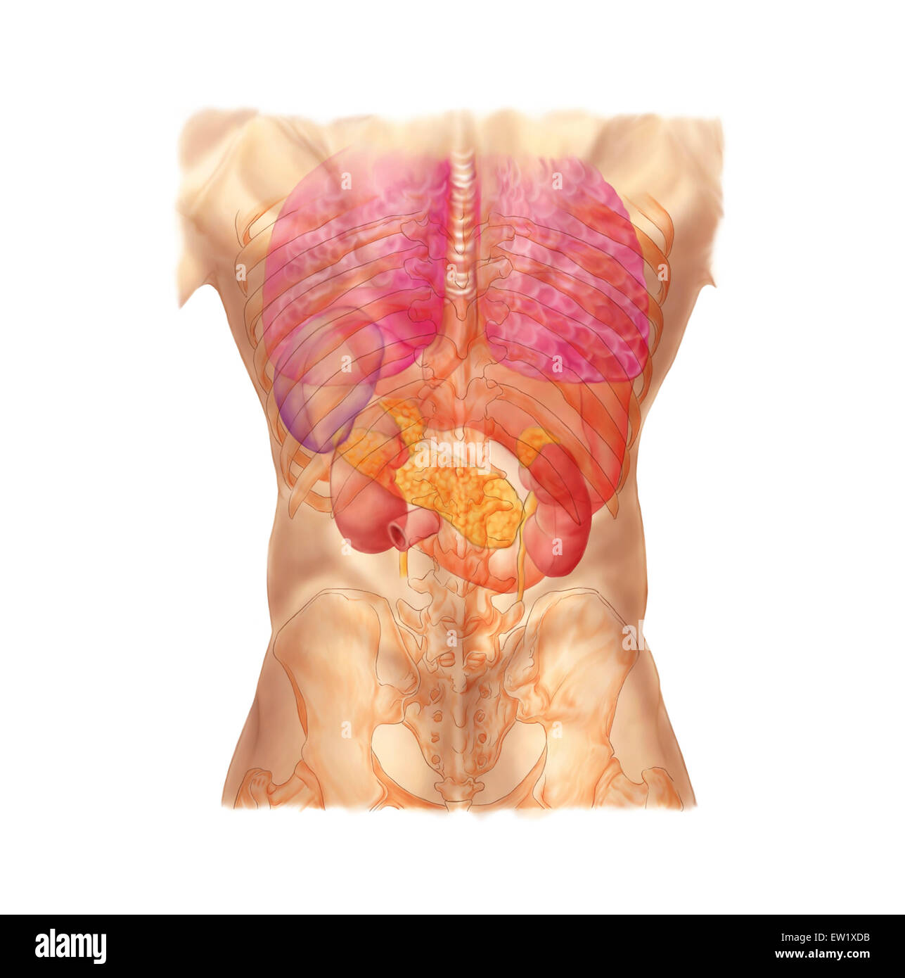 diagram of ribs and organs headphones wiring abdominal quadrants posterior view with internal rib cage