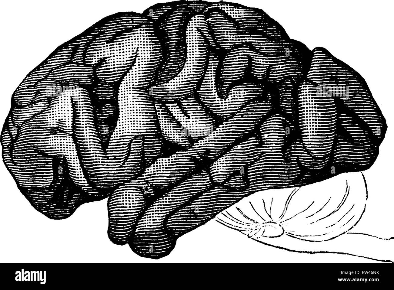 chimpanzee skull diagram 2001 dodge ram 3500 wiring brain drawing old stock photos and