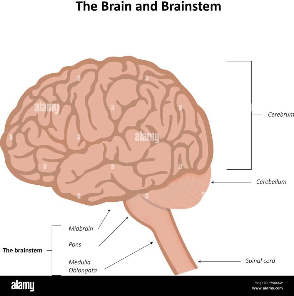 medium resolution of the brain and brainstem stock photo