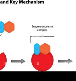 enzyme diagram labeled wiring diagram third level lock and key mechanism of enzymes labeled illustration stock [ 1300 x 746 Pixel ]