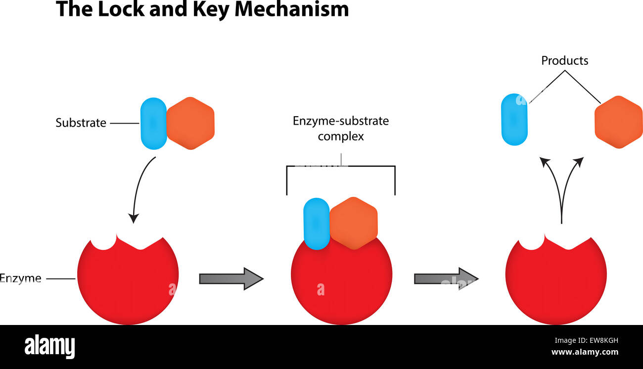 hight resolution of enzyme diagram labeled wiring diagram third level lock and key mechanism of enzymes labeled illustration stock