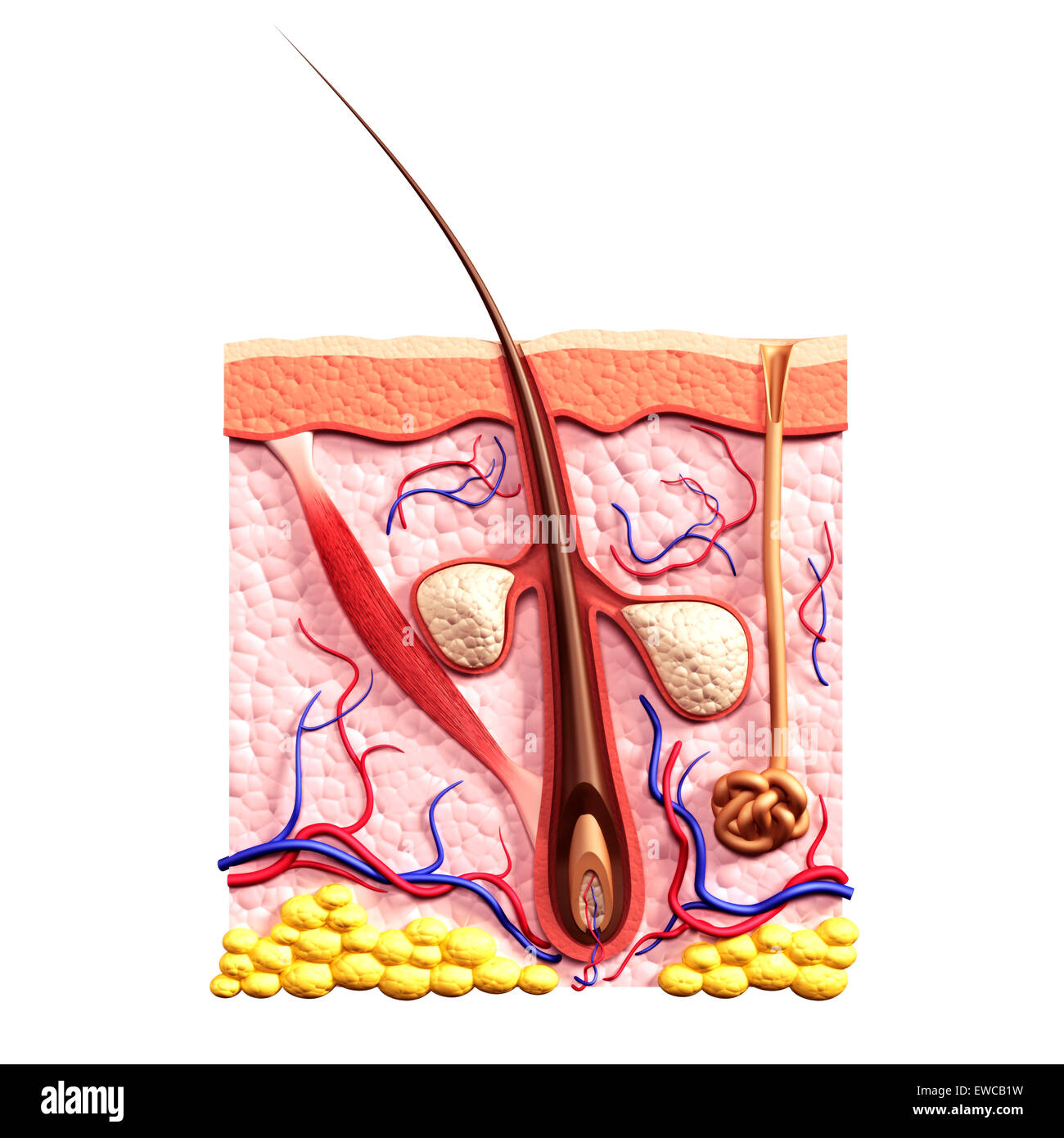 Cross Section Of Skin Showing Hair Follicle Sebaceous
