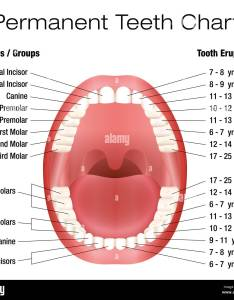 Teeth names and permanent eruption chart with accurate notation of the different groups year also rh alamy