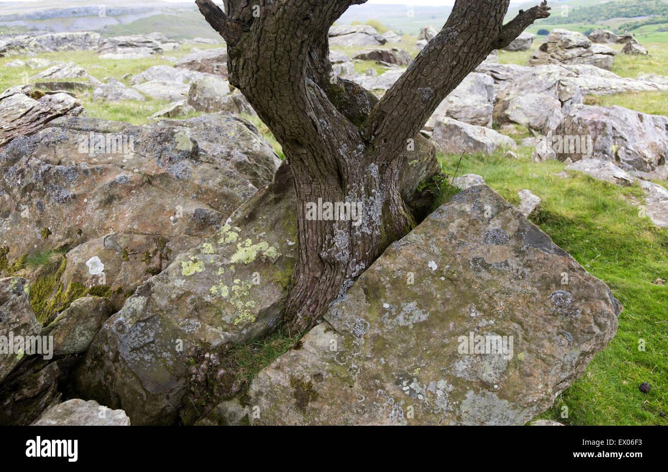 Biotic Weathering As Growing Tree Splits Rock Apart