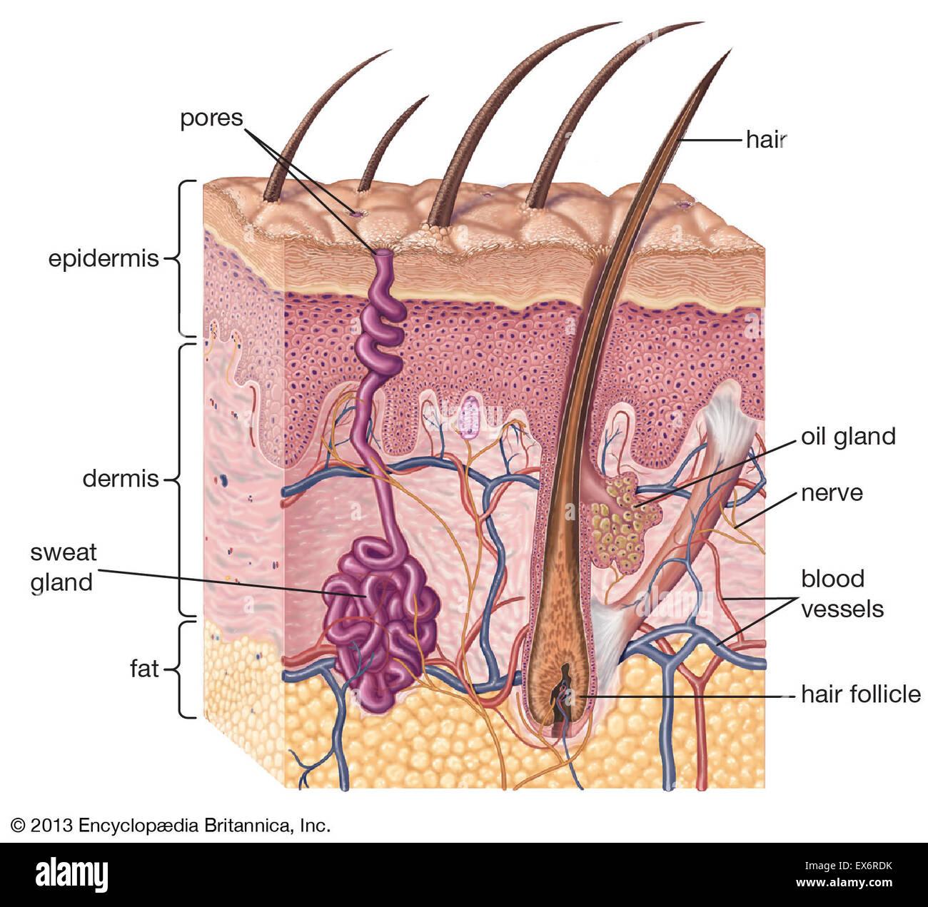 skin cross section diagram trim pump wiring of human stock photo 84972655 alamy