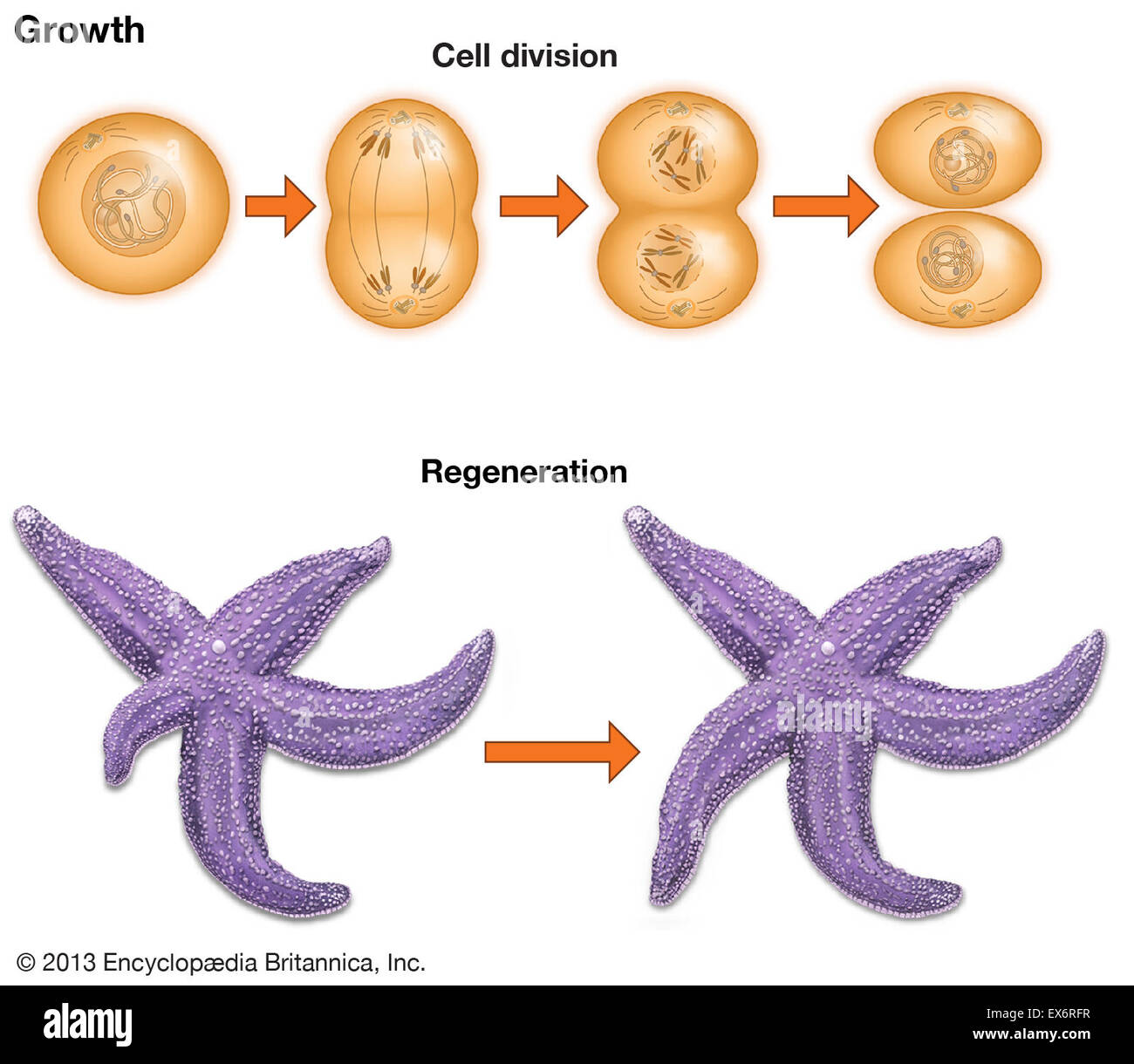 Cell Growth And Regeneration Stock Photo