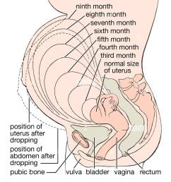 levels of the uterus during pregnancy stock image [ 971 x 1390 Pixel ]