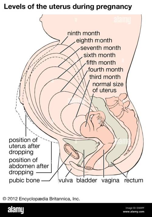 small resolution of levels of the uterus during pregnancy stock image